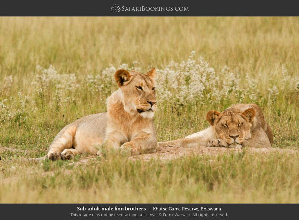 Sub-adult male lion brothers in Khutse Game Reserve, Botswana
