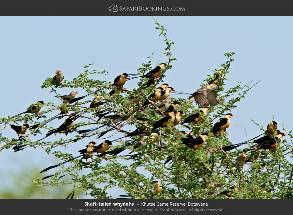 Shaft-Tailed Whydahs in Khutse Game Reserve, Botswana