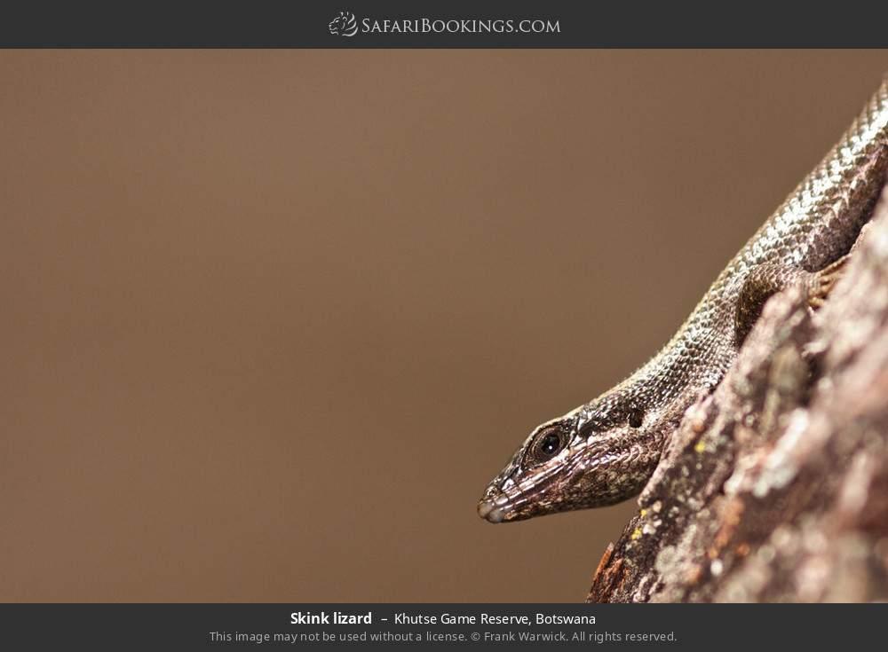 Skink lizard in Khutse Game Reserve, Botswana
