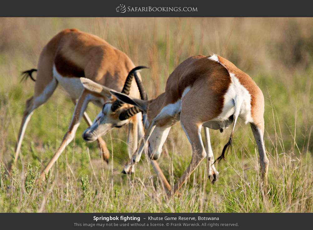 Springbok fighting in Khutse Game Reserve, Botswana