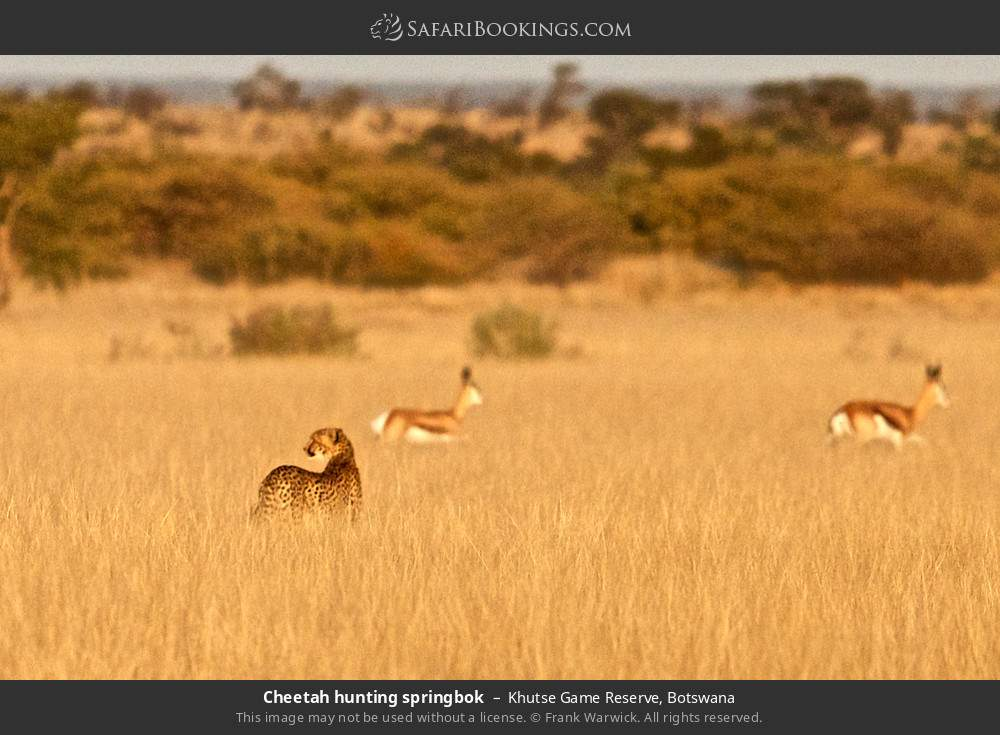 Cheetah hunting springbok in Khutse Game Reserve, Botswana