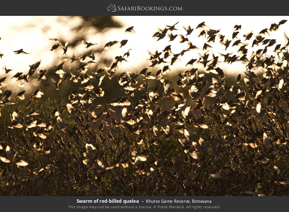 Swarm of red-billed quelea in Khutse Game Reserve, Botswana