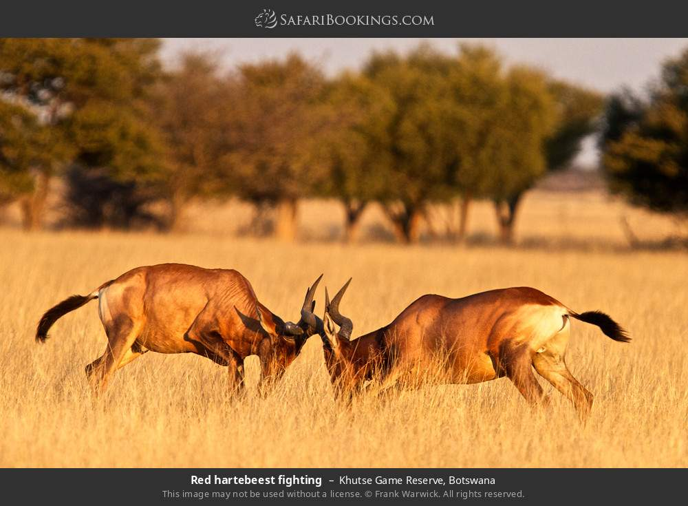 Red hartebeest fighting in Khutse Game Reserve, Botswana