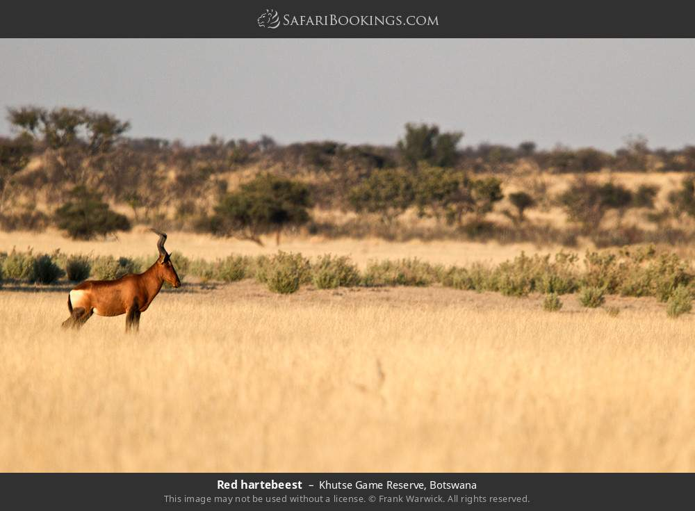Red hartebeest in Khutse Game Reserve, Botswana