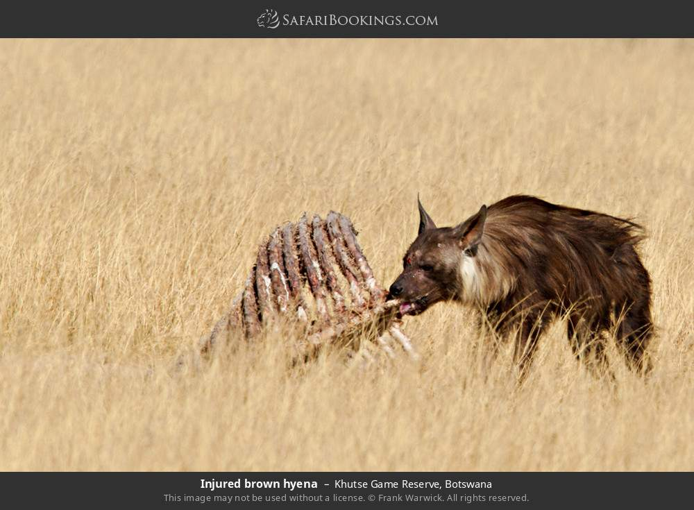 Injured brown hyena in Khutse Game Reserve, Botswana