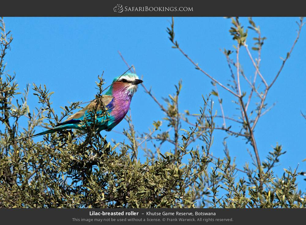 Lilac-breasted roller in Khutse Game Reserve, Botswana