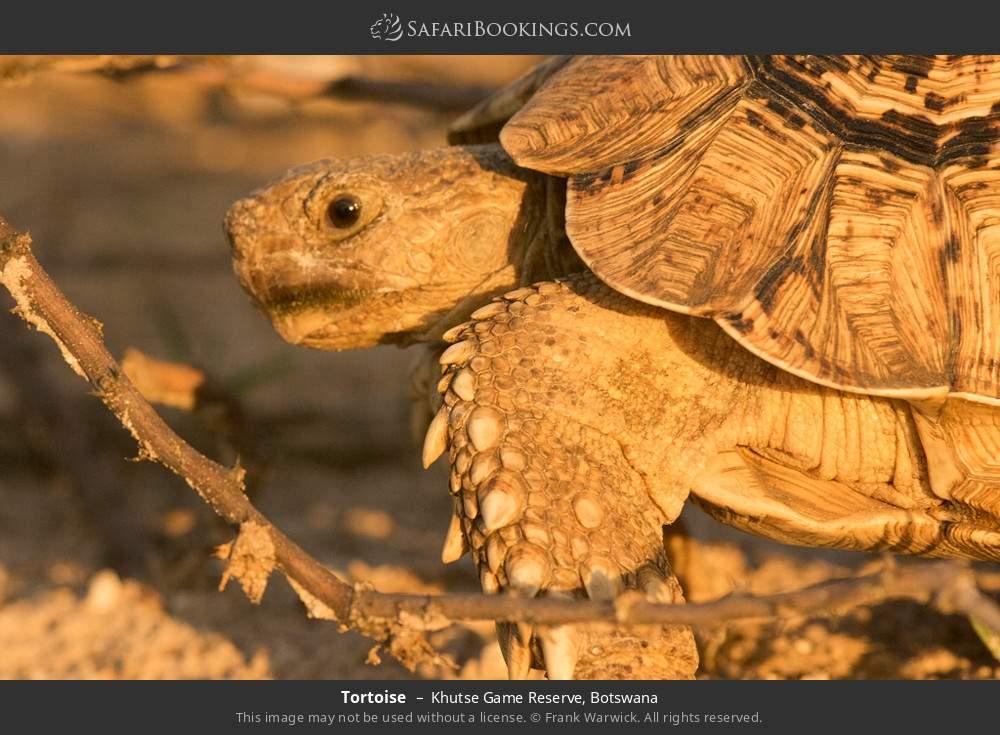 Tortoise in Khutse Game Reserve, Botswana