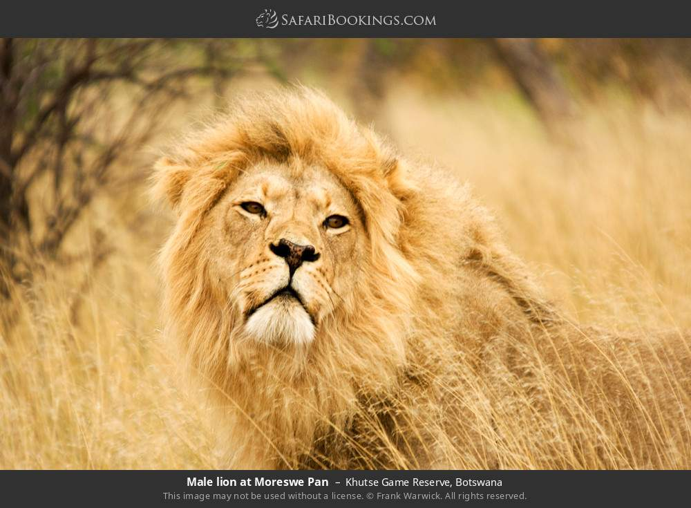 Male lion at Moreswe Pan in Khutse Game Reserve, Botswana