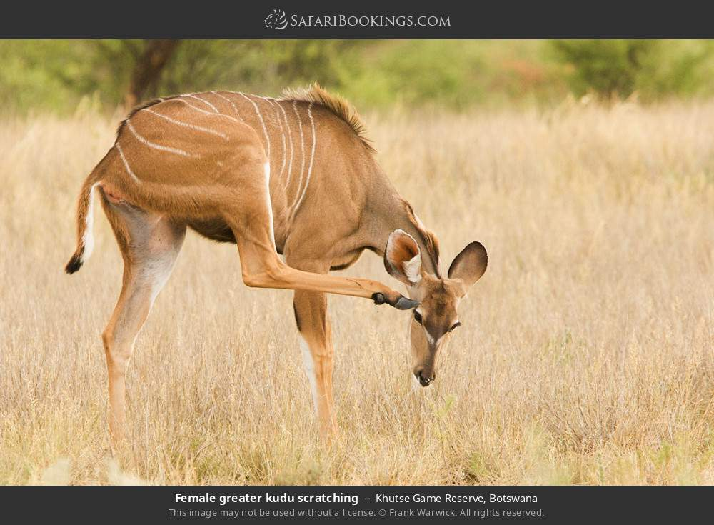 Female greater kudu scratching in Khutse Game Reserve, Botswana