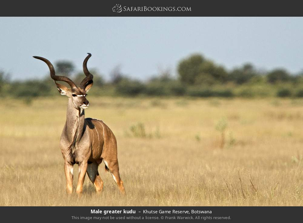 Male greater kudu in Khutse Game Reserve, Botswana