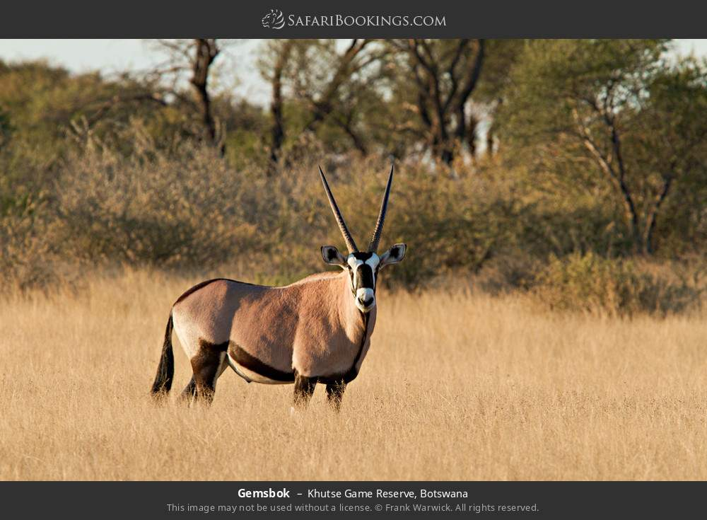 Gemsbok in Khutse Game Reserve, Botswana