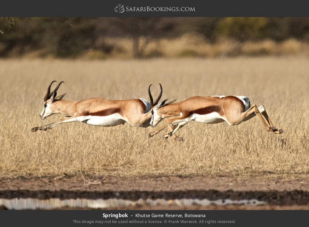 Springbok in Khutse Game Reserve, Botswana
