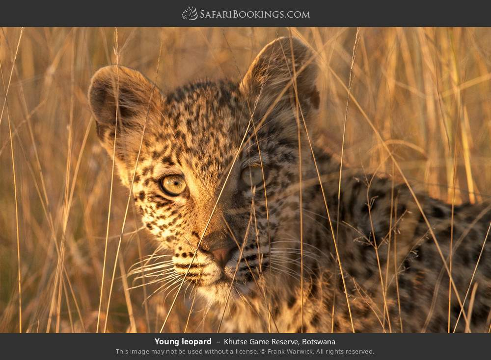 Young leopard in Khutse Game Reserve, Botswana