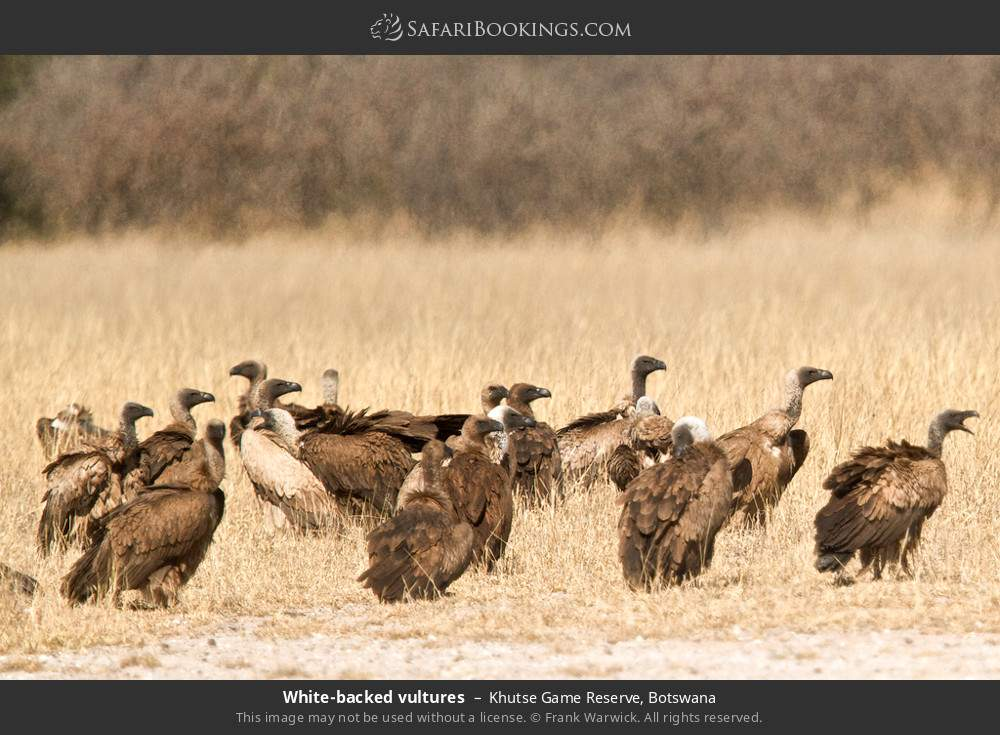 White-backed vultures in Khutse Game Reserve, Botswana