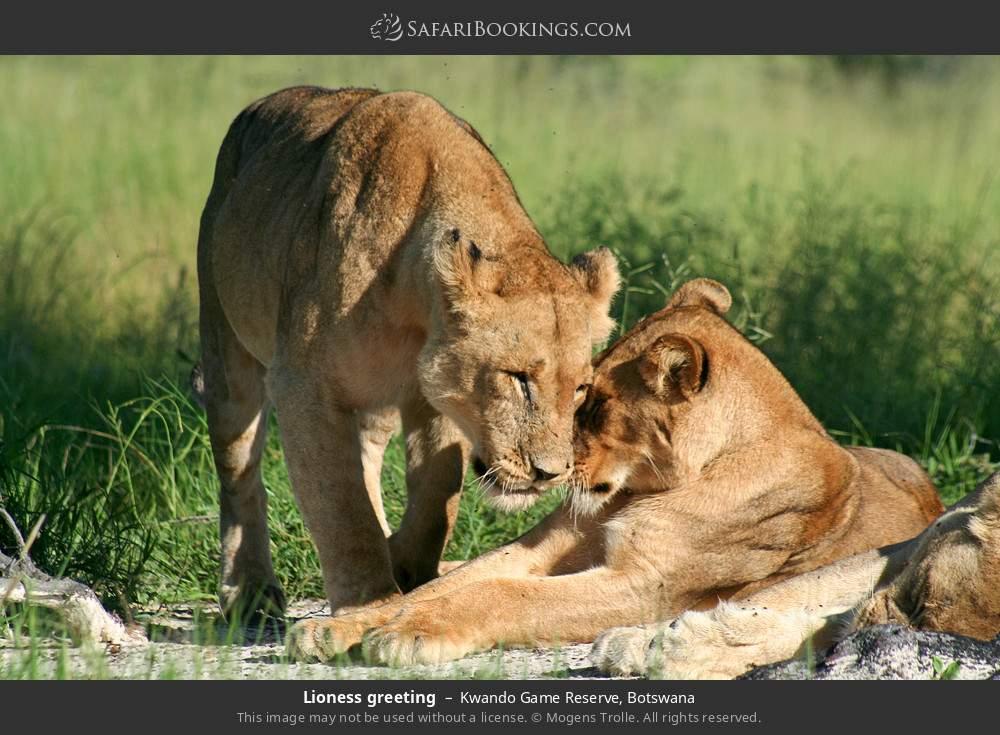 Lioness greeting in Kwando Game Reserve, Botswana
