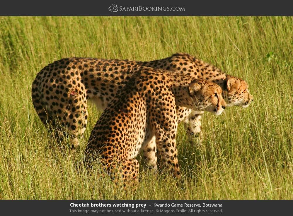 Cheetah brothers watching prey in Kwando Game Reserve, Botswana