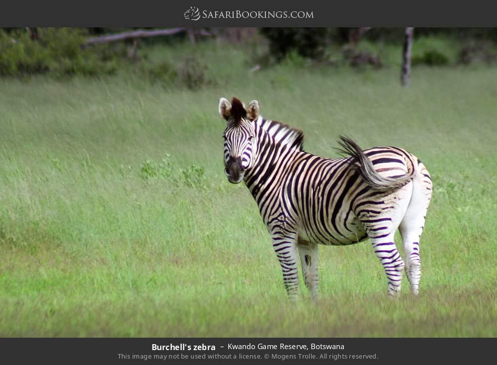Burchell's zebra in Kwando Game Reserve, Botswana