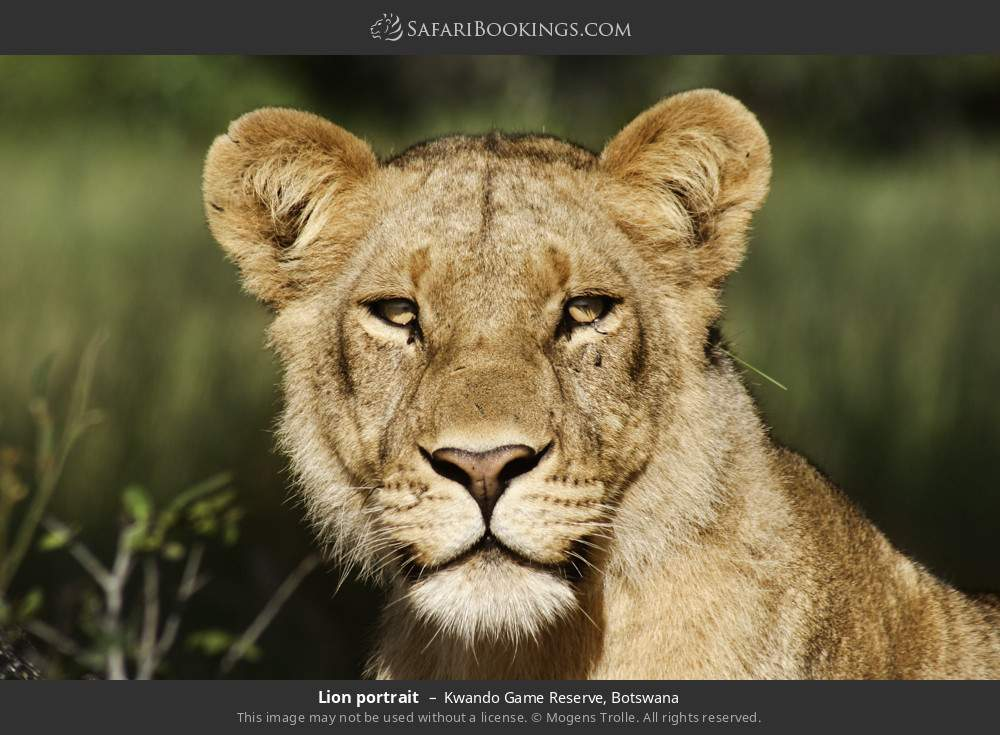Lion portrait in Kwando Game Reserve, Botswana
