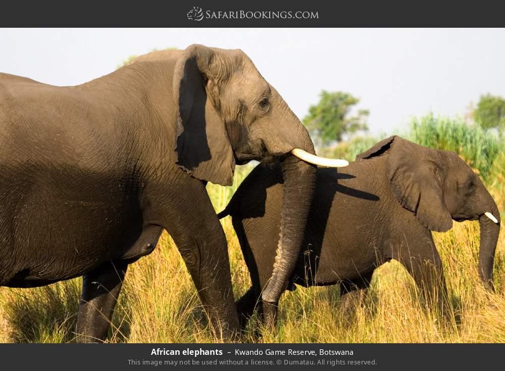 African elephants in Kwando Game Reserve, Botswana