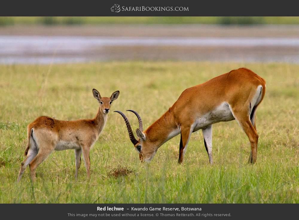 Red lechwe in Kwando Game Reserve, Botswana
