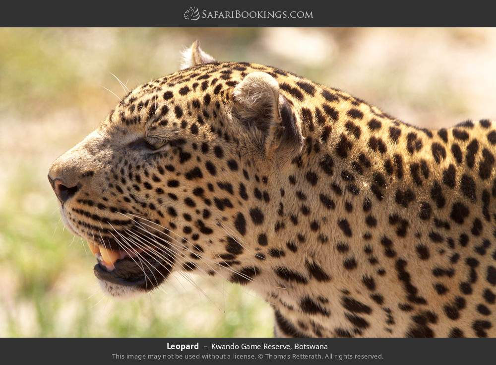 Leopard in Kwando Game Reserve, Botswana