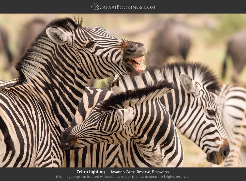 Zebra fighting in Kwando Game Reserve, Botswana