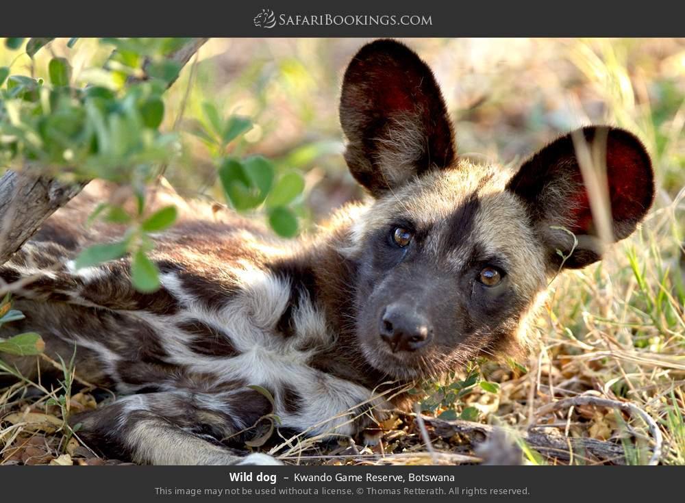 Wild dog in Kwando Game Reserve, Botswana