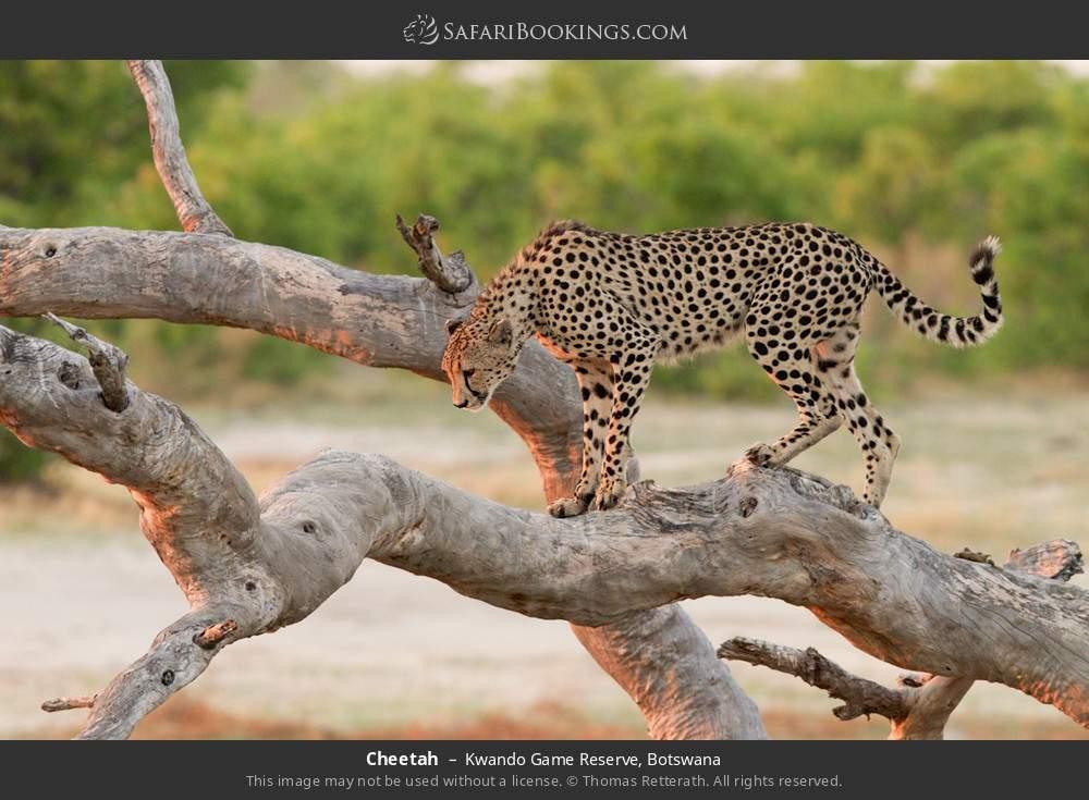 Cheetah in Kwando Game Reserve, Botswana