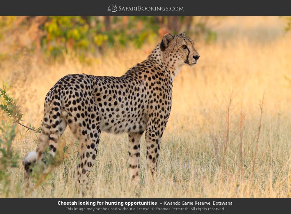 Cheetah looking for hunting opportunities in Kwando Game Reserve, Botswana