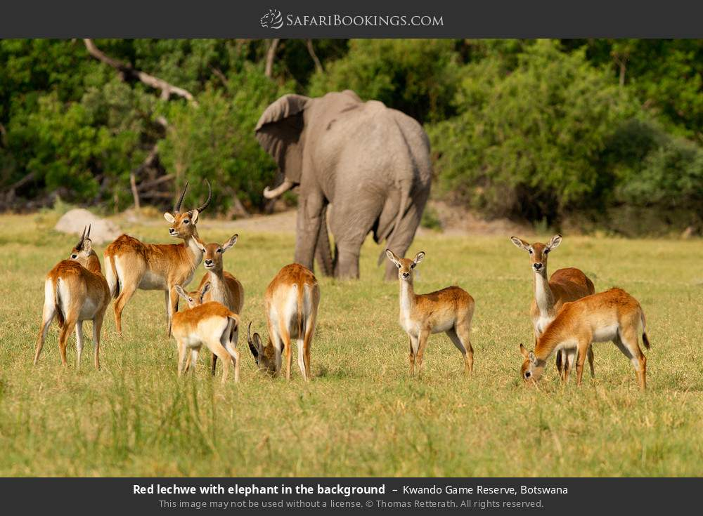 Red lechwe with elephant in the background in Kwando Game Reserve, Botswana