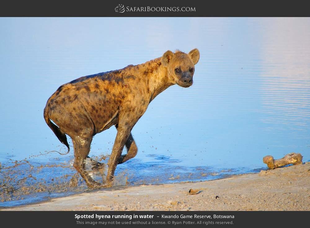 Spotted hyena running in water in Kwando Game Reserve, Botswana