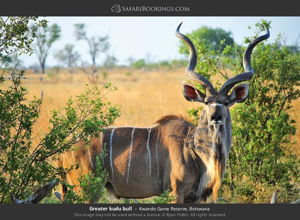 Greater kudu bull in Kwando Game Reserve, Botswana