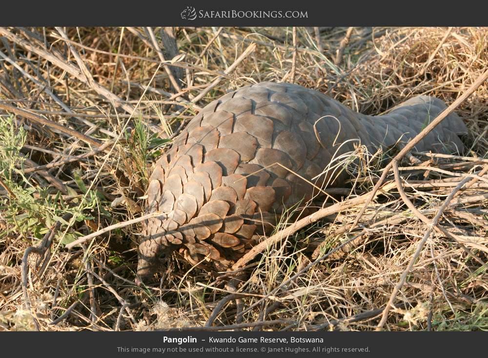 Pangolin in Kwando Game Reserve, Botswana