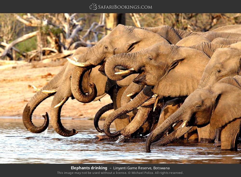 Elephants drinking in Linyanti Game Reserve, Botswana