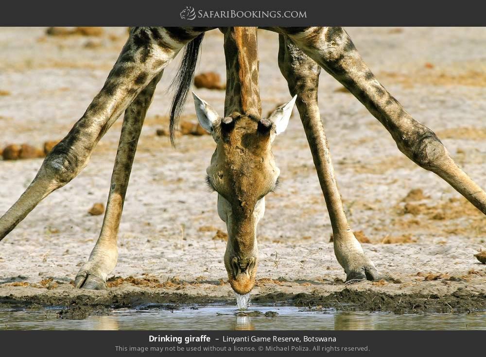 Drinking giraffe in Linyanti Game Reserve, Botswana