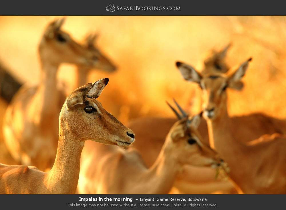 Impalas in the morning in Linyanti Game Reserve, Botswana