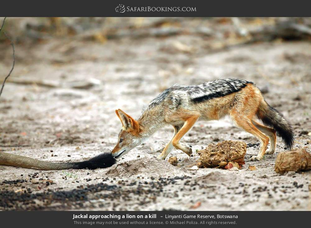 Jackal approaching a lion on a kill  in Linyanti Game Reserve, Botswana