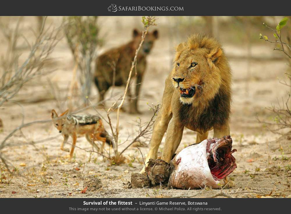 Survival of the fittest in Linyanti Game Reserve, Botswana