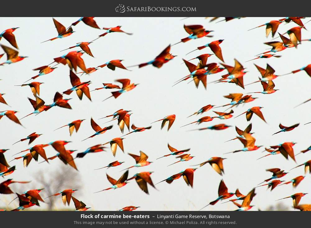 Flock of carmine bee-eaters in Linyanti Game Reserve, Botswana