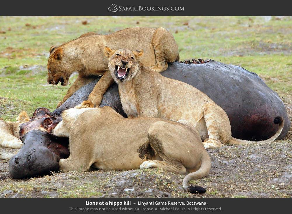 Lions at a hippo kill in Linyanti Game Reserve, Botswana