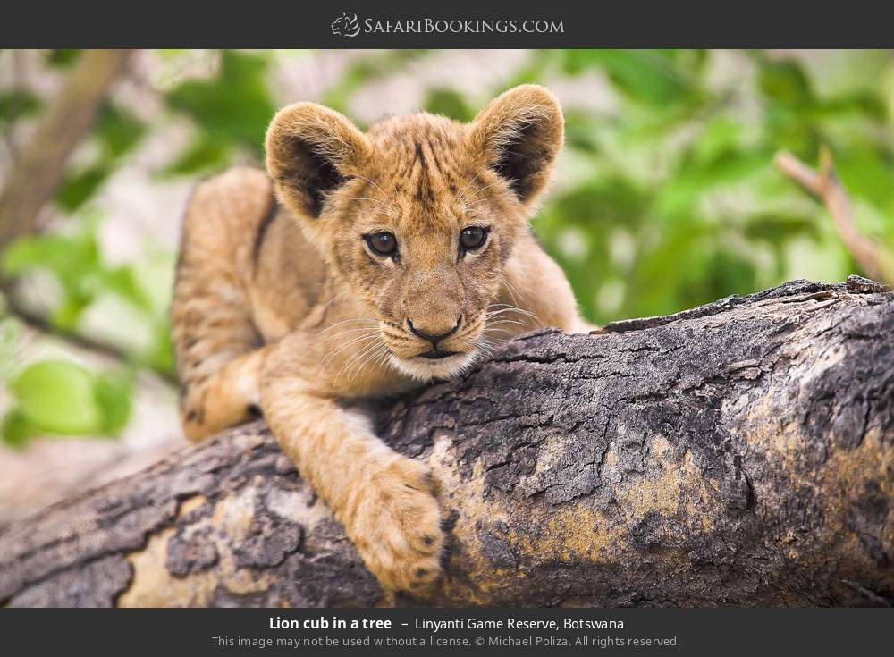 Lion cub in a tree in Linyanti Game Reserve, Botswana