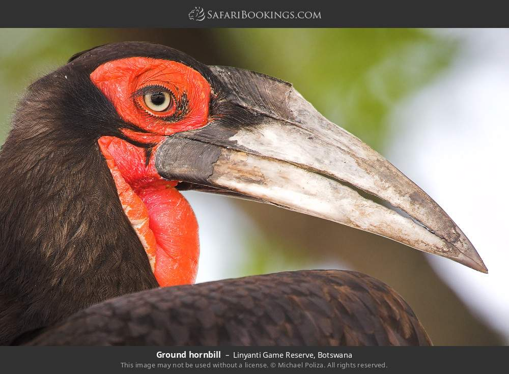 Ground hornbill in Linyanti Game Reserve, Botswana