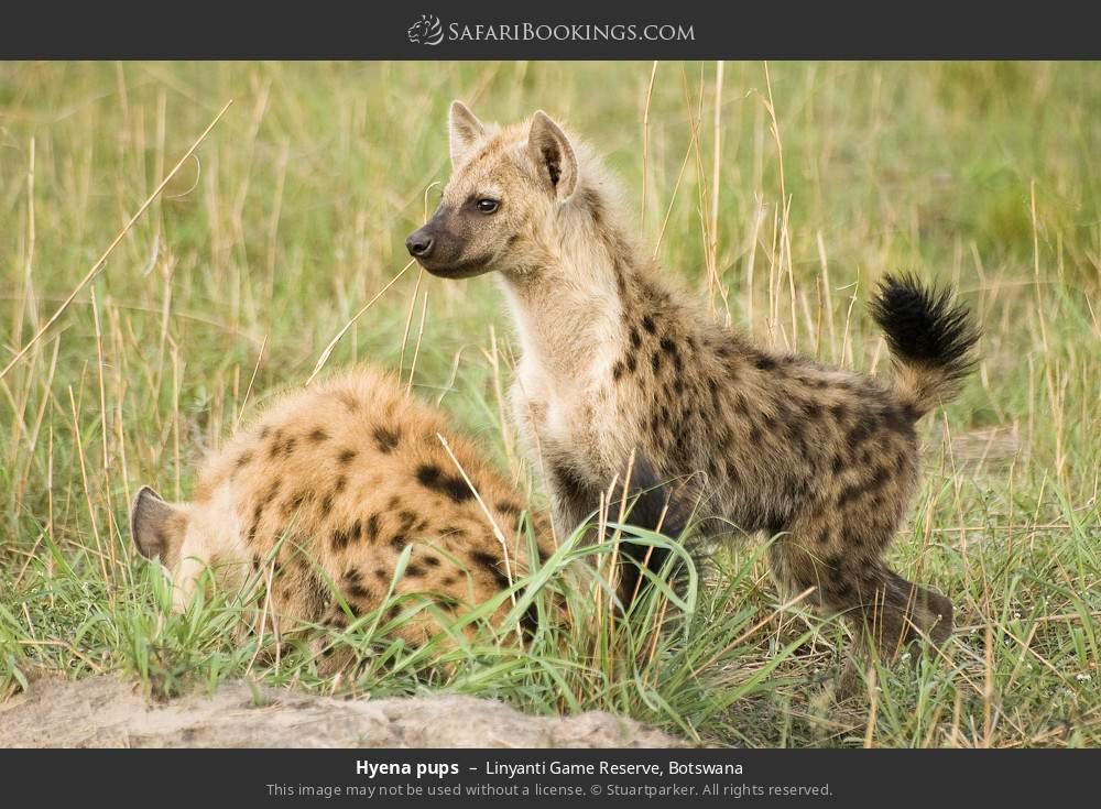 Hyena pups in Linyanti Game Reserve, Botswana