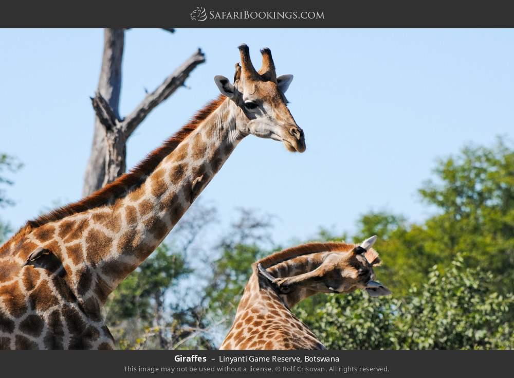 Giraffes in Linyanti Game Reserve, Botswana