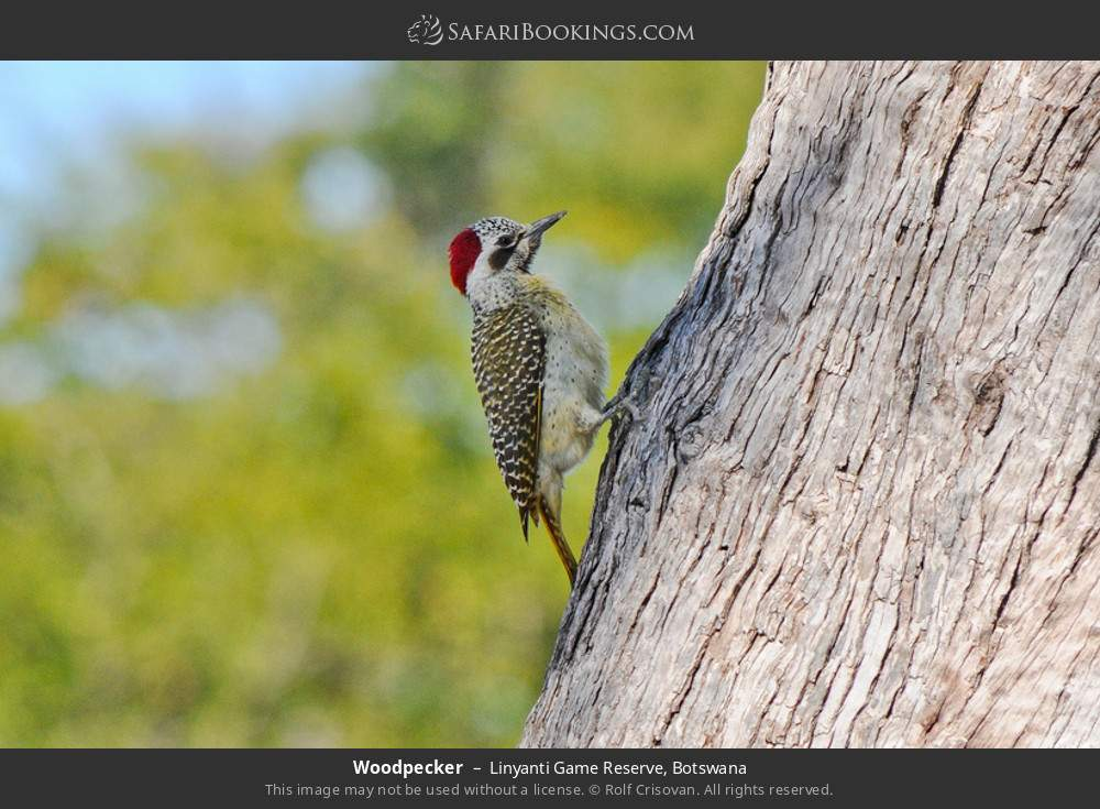 Woodpecker in Linyanti Game Reserve, Botswana