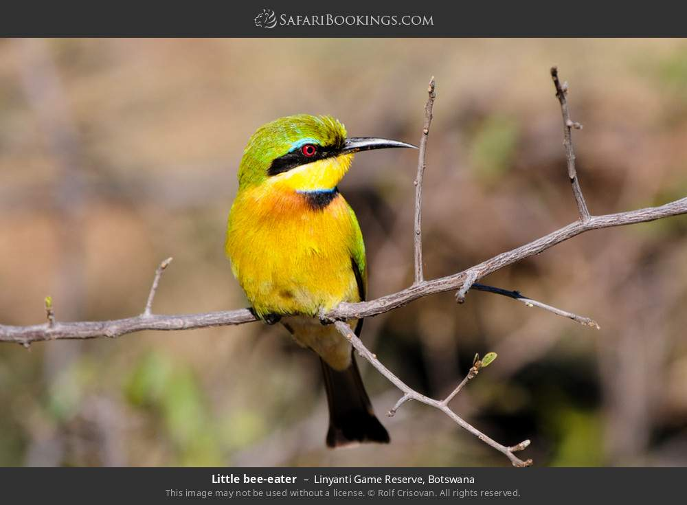 Little bee-eater in Linyanti Game Reserve, Botswana