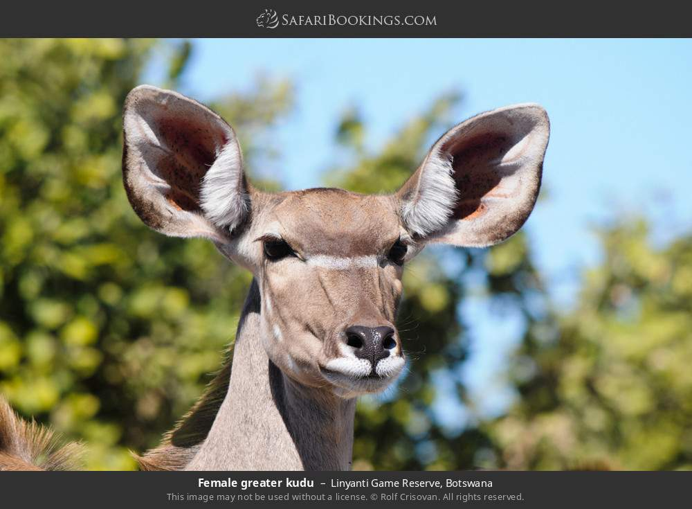 Female greater kudu in Linyanti Game Reserve, Botswana