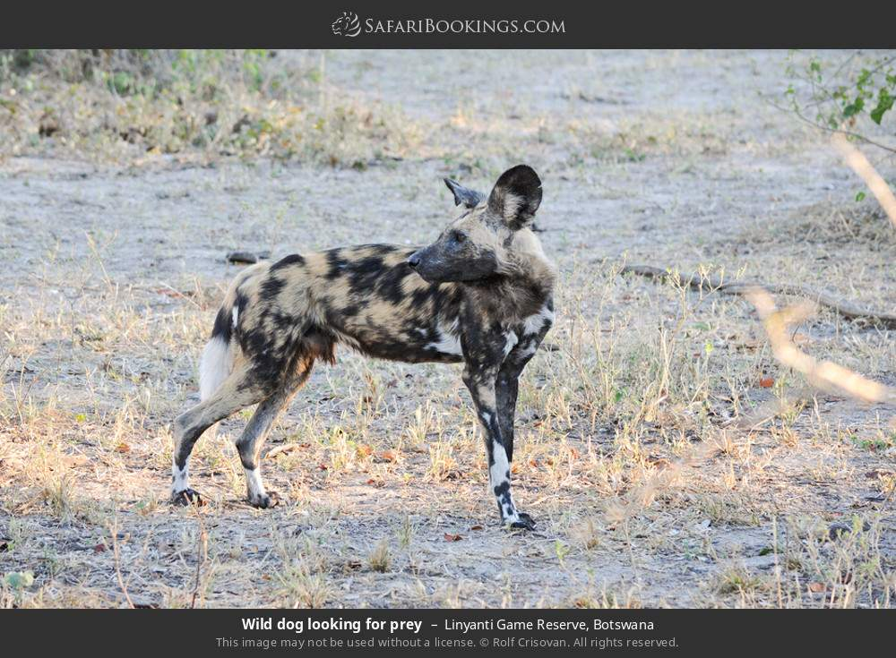 Wild dog looking for prey in Linyanti Game Reserve, Botswana