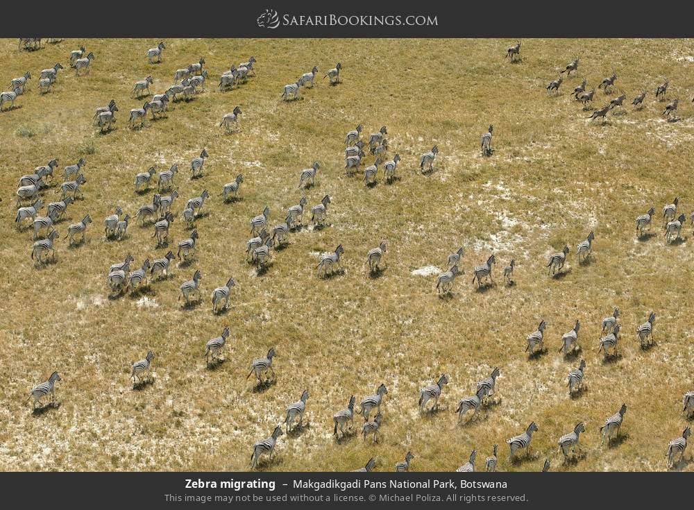 Zebra migrating in Makgadikgadi Pans National Park, Botswana