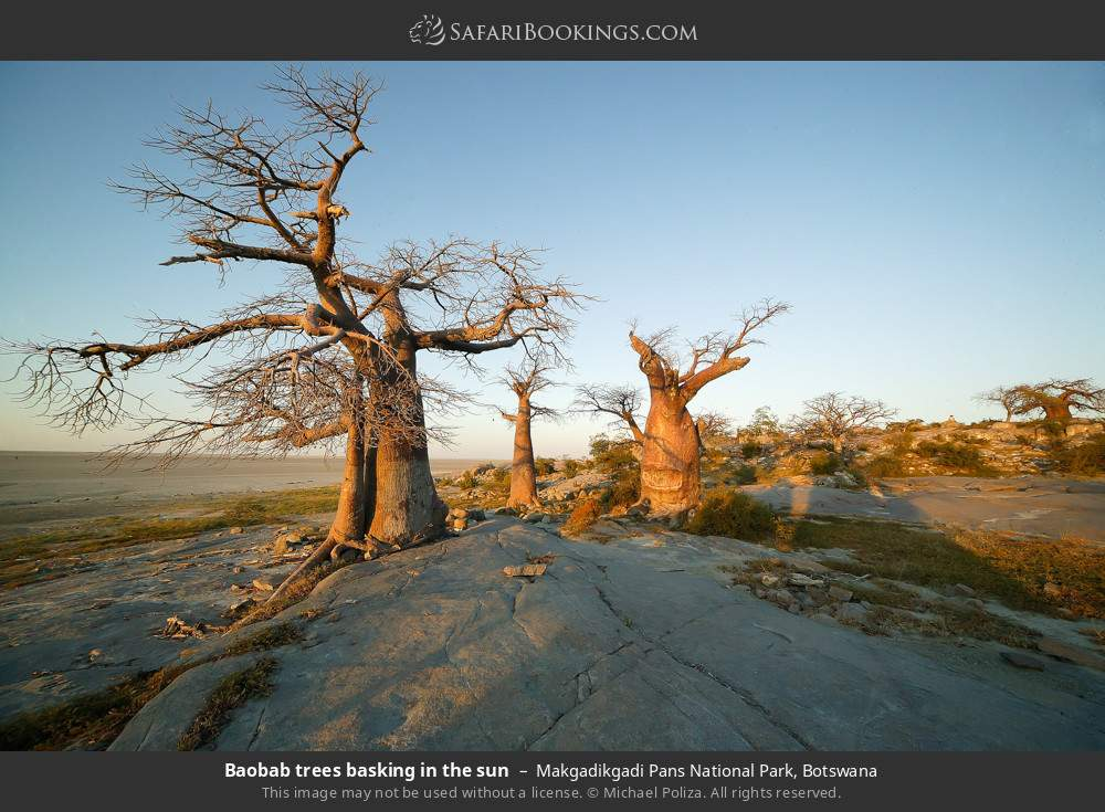 Baobab trees basking in the sun in Makgadikgadi Pans National Park, Botswana